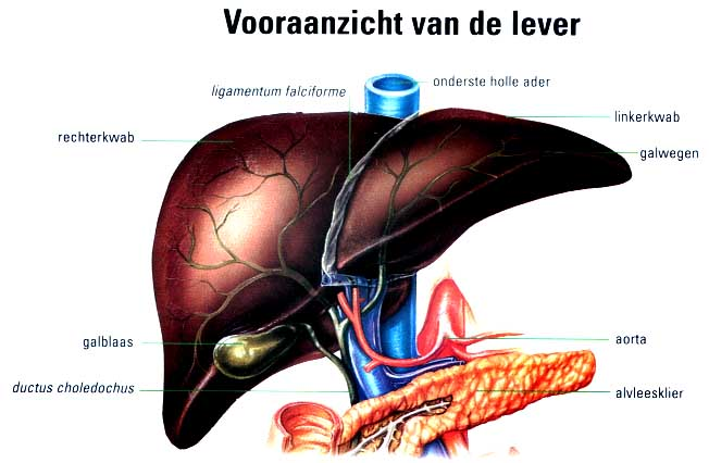 Anatomie lever